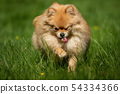 A little Pomeranian out in the nature 54334366
