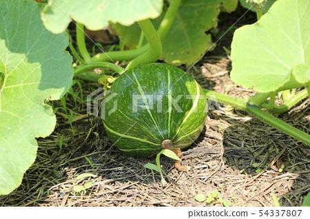 Pumpkin cultivation 54337807