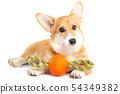 Pembroke Welsh Corgi with a toy 54349382