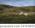 Sheep grazing on the dunes of Sylt island 54350820