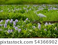 White rose on water hyacinth flower field 54366902