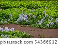 Red waterweed on a birch in a water hyacinth flower field 54366912