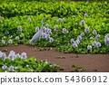 부레옥잠의 꽃밭에 백로 빨간 수초 54366912