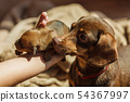Person showing puppies to mother dog 54367997