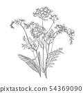 Branch of wild plant Forget-me-not and Tansy. Vintage engraved illustration. Bouquet of hand drawn 54369090