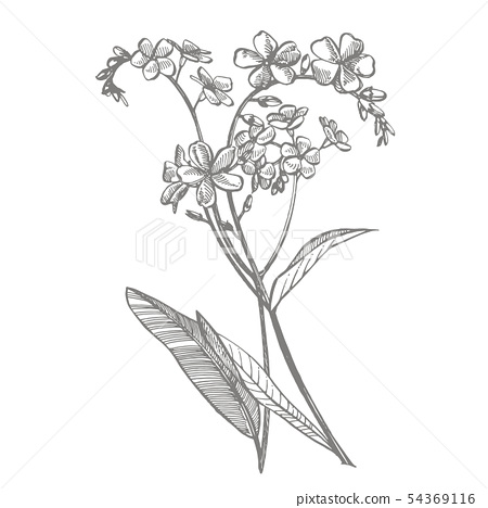 Forget-me-not flowers. Botanical illustration. Good for cosmetics, medicine, treating, aromatherapy 54369116