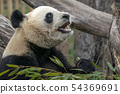 giant panda while eating bamboo 54369691
