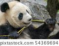 giant panda while eating bamboo 54369694