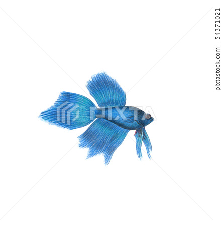 Betta fish natural illustration by colored pencils 54371021