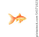 Golden fish natural illustration by colored 54371023