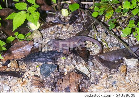 安德森的鱷魚蠑螈 54389609
