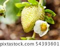 草莓花 54393601