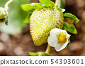 Strawberry flowers 54393601