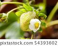 草莓花 54393602