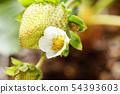 Strawberry flowers 54393603