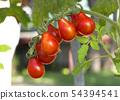 西紅柿 番茄 蔬菜 54394541