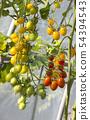 西紅柿 番茄 食物 54394543
