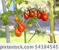 西紅柿 番茄 食物 54394545