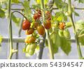 西紅柿 番茄 植物 54394547