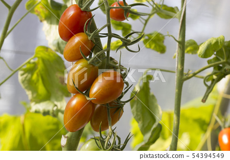 Ripe natural tomatoes growing 54394549