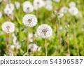 Dandelion's fluff 54396587