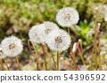 Dandelion's fluff 54396592