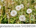 Dandelion's fluff 54396594