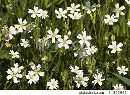 Many little white flowers in a field 54396941