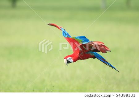 鸚鵡,金剛鸚鵡,鳥 54399333
