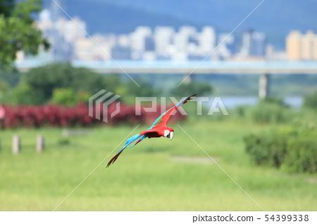 鸚鵡,金剛鸚鵡,鳥 54399338