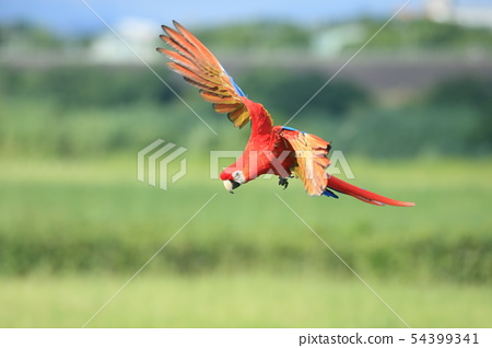 鸚鵡,金剛鸚鵡,鳥 54399341