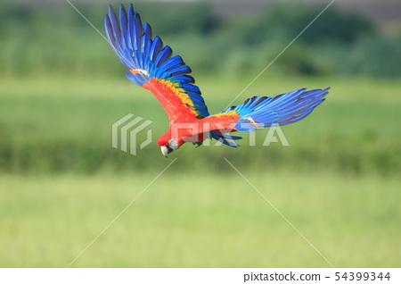 鸚鵡,金剛鸚鵡,鳥 54399344