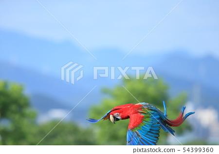 鸚鵡,金剛鸚鵡,鳥 54399360