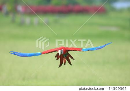 鸚鵡,金剛鸚鵡,鳥 54399365