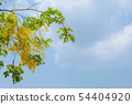Beautiful yellow flower Golden shower with sky 54404920
