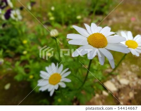 정원꽃 54414667