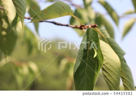 Child mantis 54415581