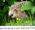 Hedgehog 54416776