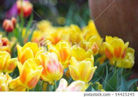 tulip 54425245