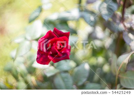 rose 54425249