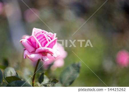 玫瑰 54425262