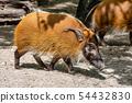 Red river hog, Potamochoerus porcus, also known as the bush pig. 54432830