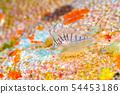 有角的蓑魚的幼小魚 54453186