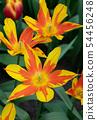 Tulip, Tulipa 54456248
