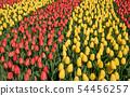 Tulip, Tulipa 54456257