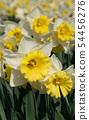 Daffodil, Narcissus 54456276
