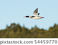 Close up of Red-breasted merganser in flight 54459770