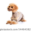 Groomed Toy Poodle posing 54464382