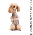 Groomed Toy Poodle posing 54464383