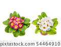 Primroses with bright flowers isolated on white 54464910